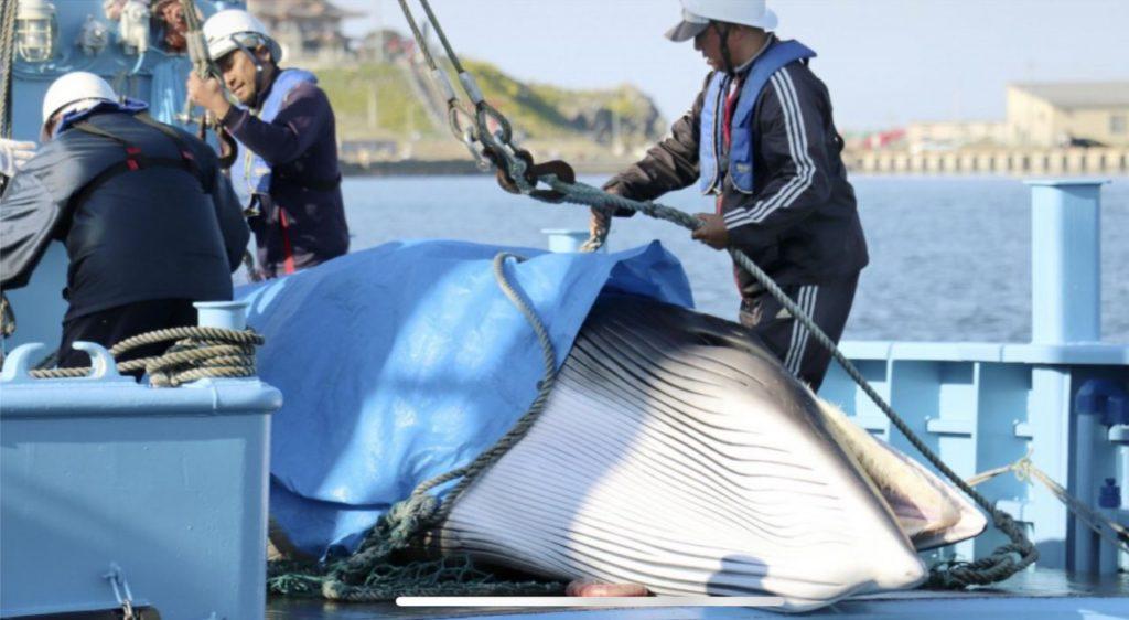 کشتی های صید نهنگ ژاپنی